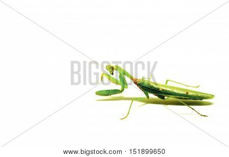 Mantis on white background. Closeup image of mantis. Soothsayer or mantis green insect. Mantis full body macro photo. Grass green Mantodea from tropical nature. Mantis isolated picture with text place