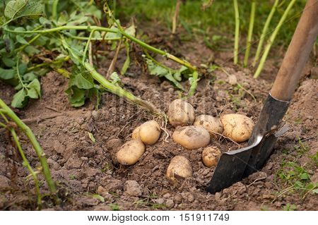 Harvesting Potatoes. Fresh Potatoes Dig From Ground With Spade. Fresh Potato. Harvest Time Season.