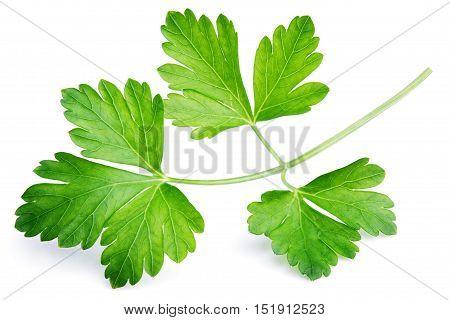 Garden Parsley Herb (cilantro) Leaf Isolated On White