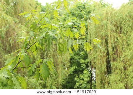 Leaves of oak, Sparrow Hills in Moscow