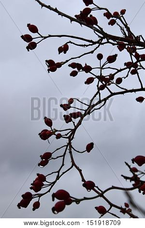 Rose bush with red berries with water drops in the autumn. Cloudy. Rose bush.