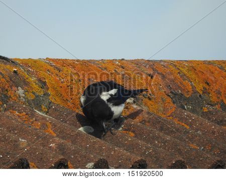 Magpie perched on the lichen covered roof of a house