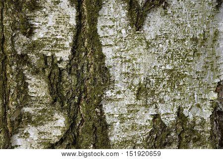 Texture of birch tree. Green tinge. Background. Birch.