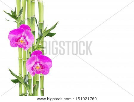 Several stem of Lucky Bamboo (Dracaena Sanderiana) with green leaves and two pink orchid flowers isolated on white background with copy-space