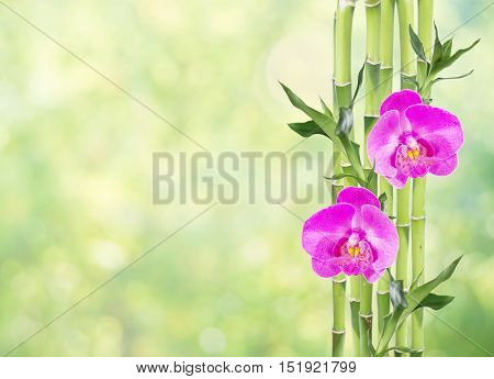 Several stem of Lucky Bamboo (Dracaena Sanderiana) with green leaves and two pink orchid flowers on natural green background with copy-space