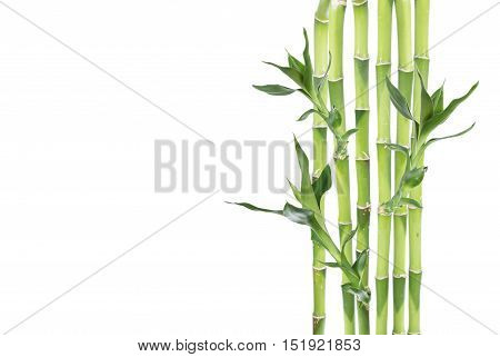 Several stem of Lucky Bamboo (Dracaena Sanderiana) with green leaves isolated on white background with copy-space