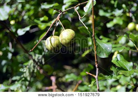 Wild duet of apples in a very green wood.