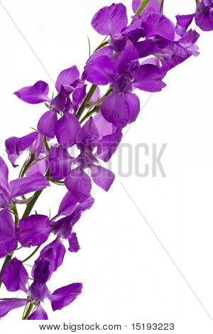 purple flowers. white background