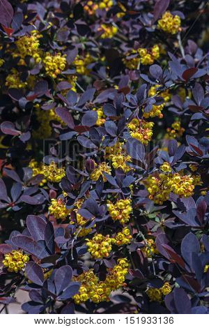 yellow flowers barberry against the dark leaves