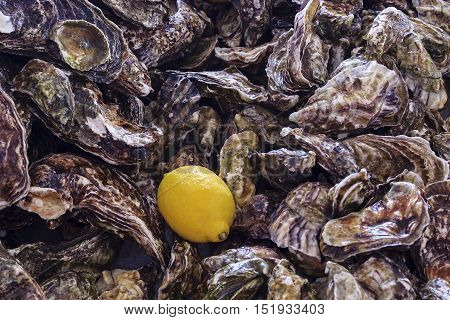 Yellow lemon on a background of unsolved oysters