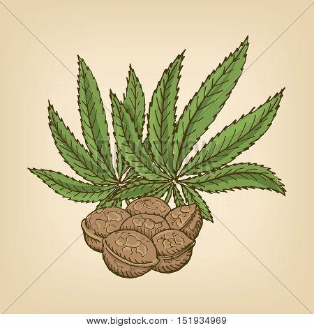 Hemp Seeds and leaves. Vector illustration. Hand drawn illustration.