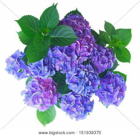 blue and violet fresh hortensia flowers with green leaves bush isolated on white background, top view