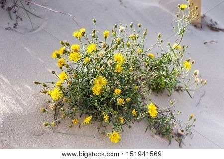 Yellow blooming flowers of salsify (Tragopogon heterospermus) in the sand.