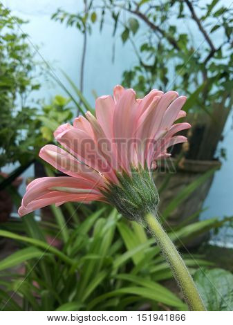 Single pink sunflower under the afternoon sunlight