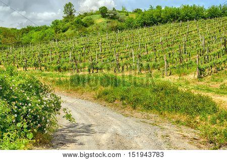 Tokaj wine region in Hungary. Vineyard in spring. Poppies. Dirt road. Hungarian countryside. Cloudy blue sky. Spring season landscape. Warm dry calm weather.