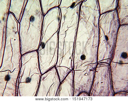 Micrograph of onion epidermal cells, light microscopy. Magnification X125
