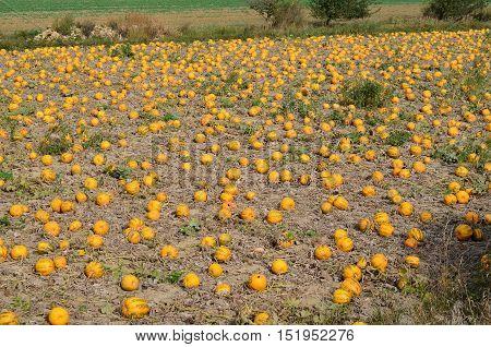 View of field pumpkins region Lower Austria Austria