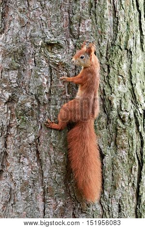 Eurasian red squirrel (Sciurus vulgaris) climbing a tree trunk