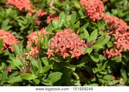 Rubiaceae flower Ixora coccinea It is a flowering shrub native