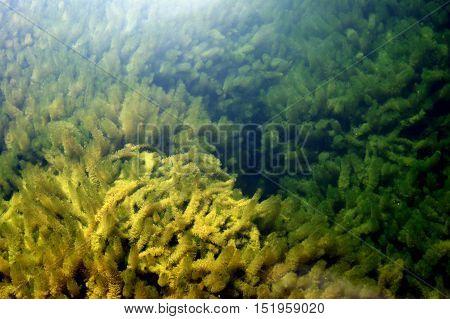 Algae on the bottom of the river