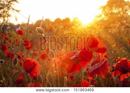 Golden sunlight illuminates a host of blood red poppies in a field near Oxford