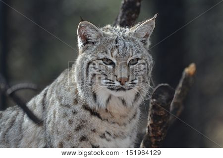 Amazingly alert face of a Canadian lynx in the wilderness.