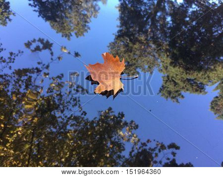 One golden maple leaf fallen on surface with reflection in autumn season