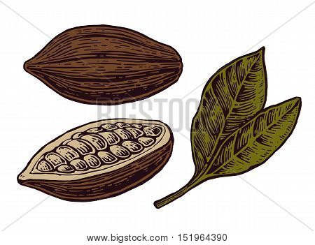 Leaves and fruits of cocoa beans. Vector color vintage engraved illustration. Isolated on white background.