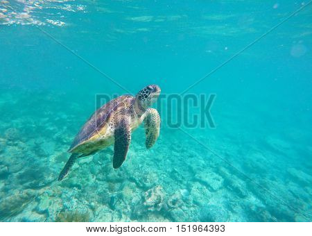 Sea turtle in blue water. Green sea turtle diving in coral reef. Sea tortoise. Green turtle swims in sea. Snorkeling with turtle in lagoon. Marine image for banner template or poster with text place