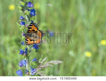 Butterfly urticaria on the blue flower at sammer meadow