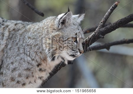 A close look at a candid profile of a Canadian Lynx.
