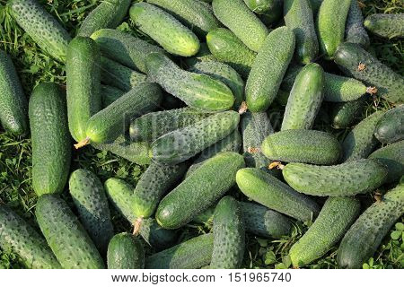 Fresh green cucumber lying on the grass view from above. Background of the cucumbers.
