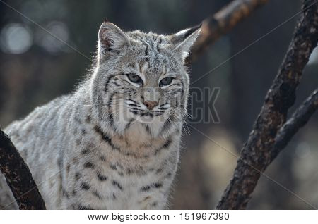 Lynx with fluffy fur in the wild.
