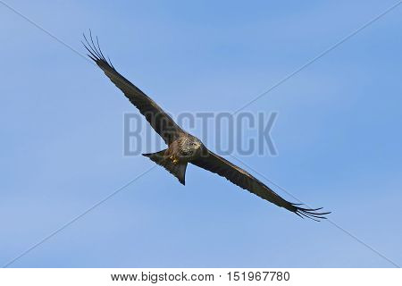 Black kite in flight with blue skies in the background