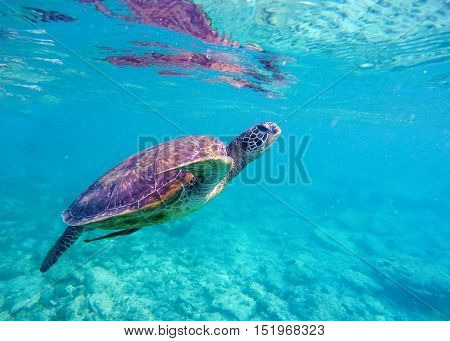 Sea turtle in blue water. Big sea turtle diving in coral reef. Sea tortoise. Green turtle swims in sea. Snorkeling with turtle in lagoon. Aquatic image for banner template or poster with text place