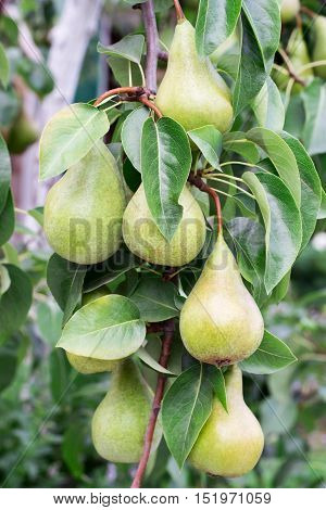 lot of green pears on a tree branch closeup of fruits