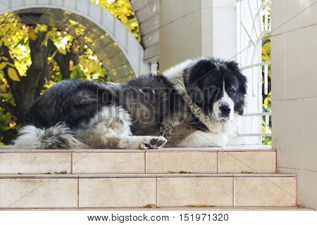 Adult Caucasian Shepherd dog in the yard. Fluffy Caucasian shepherd dog in the yard