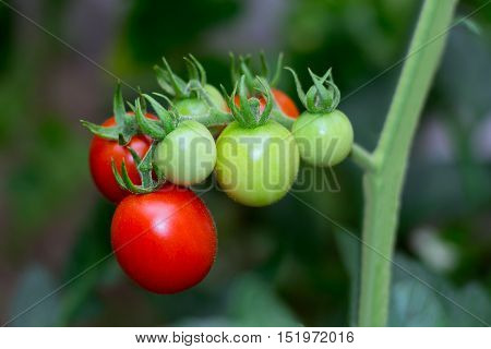 bush with some red and green unripe tomatoes on branch
