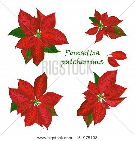 Set of Poinsettia flowers in red color - Christmas symbols. Vector illustration