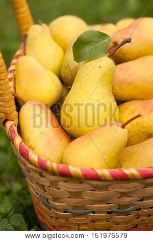 Fresh Ripe Yellow Pears In Wicker Basket In Day Sunny Garden Close-up. Pears In Basket. Yellow Pear. Selective Focus.