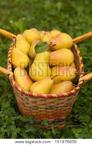 Fresh Ripe Yellow Pears In Wicker Basket On Green Grass Outdoor Close-up. Wicker Basket With Fresh Ripe Pears. Fresh Ripe Pear. Selective Focus.