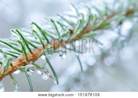 Spruce Twigs. On Pins And Needles Hanging Frozen Droplets Of Ice.