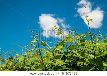 Fresh green shoots of vine over blue sky. Background for design.