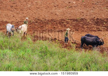 VINALES, CUBA - MARCH 19, 2016: People working on a field with animals in the Vinales Valley in Cuba