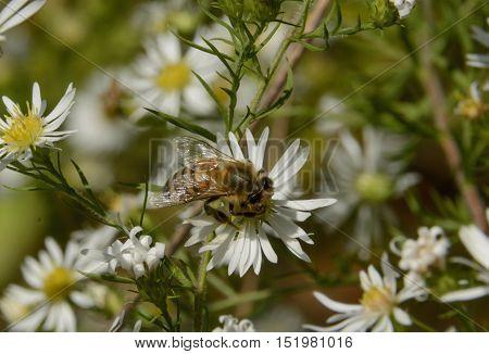 A Honey Bee(Genus Apis), gathering nectar from a Daisy Fleabane on a sunny hillside in York County Pennsylvania, USA.