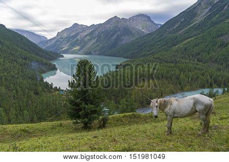 White horse on a hillside. Kucherla lake. Altai Mountains Russia. Overcast summer morning.