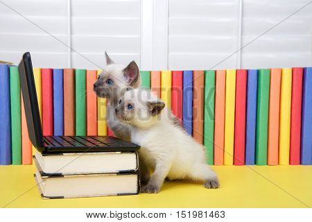 Two small Siamese kitten with blue eyes sitting at a miniature laptop computer stacked on books with books in background. Looking at computer screen.
