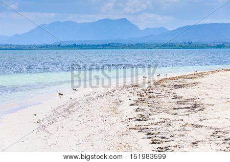 Birds On The Beach In Cayo Levisa Island In Cuba