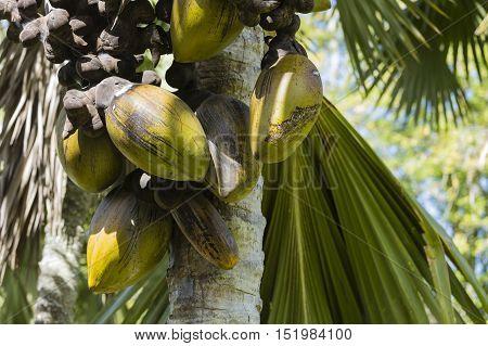 Coco De Mer, Mahe, Seychelles