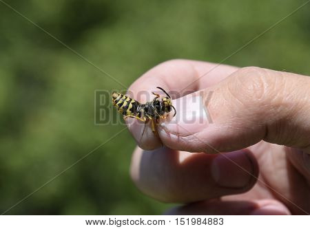 Common Wasp On Pinched Fingers